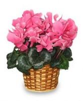 FLOWERING CYCLAMEN 6-inch Blooming Plant