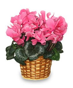FLOWERING CYCLAMEN 6inch Blooming Plant All House Plants