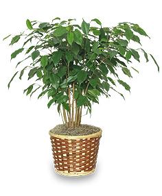 BENJAMIN FIG TREE  Ficus benjamina