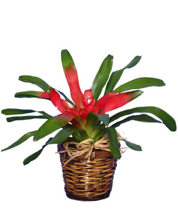 BROMELIAD Tropical Bromeliad Plant