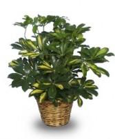 Variegated Dwarf Schefflera  Brassia arboricola variegata