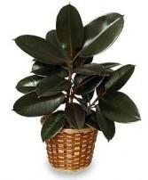 RUBBER PLANT BASKET  Ficus elastica
