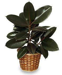 RUBBER PLANT BASKET  Ficus elastica  in Camp Pendleton, CA | CAMP PENDLETON FLORIST
