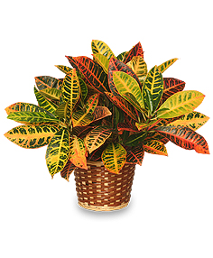 CROTON PLANT BASKET  Codiaeum variegatum pictum  in Springfield, IL | FLOWERS BY MARY LOU INC