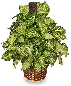 GREEN NEPHTHYTIS PLANT  Syngonium podophyllum  in Cary, NC | GCG FLOWERS & PLANT DESIGN