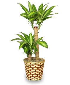 BASKET OF CORN PLANTS  Dracaena fragrans massangeana  in Ozone Park, NY | Heavenly Florist