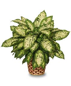 DUMB CANE PLANT  Dieffenbachia picta  in Ozone Park, NY | Heavenly Florist