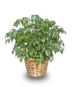 CHINA DOLL ARALIA PLANT  Radermachia sinica