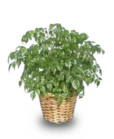 CHINA DOLL ARALIA PLANT  Radermachia sinica  in Ozone Park, NY | Heavenly Florist