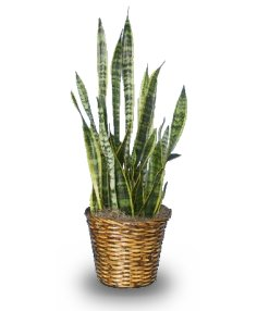 MOTHER-IN-LAW'S TONGUE  Sansevieria trifasciata laurentii  in Oakland, ME | VISIONS FLOWERS & BRIDAL DESIGNS