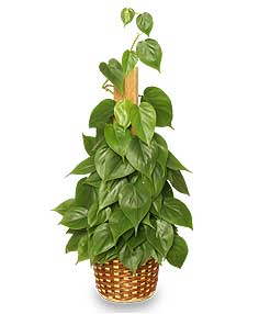 HEARTLEAF PHILODENDRON  Philodendron scandens oxycardium  in Talladega, AL | GAITHER'S FLORIST
