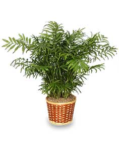 PARLOR PALM PLANT  Chamaedorea elegans  in Rock Hill, SC | Ribald Events - Florals, Rentals, & Event Planning