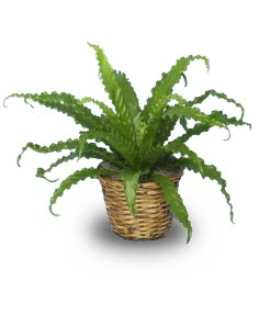BIRD NEST FERN PLANT  Asplenium nidus  in Port Huron, MI | CHRISTOPHER'S FLOWERS