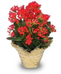 FLOWERING KALANCHOE  Kalanchoe blossfeldiana