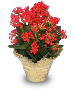 flowering kalanchoe kalanchoe blossfeldiana - Red Flowering House Plants