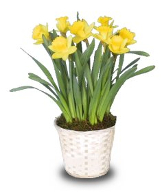 POTTED DAFFODILS Plant Basket