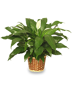 PEACE LILY PLANT    Spathiphyllum clevelandii  in New York, NY | TOWN & COUNTRY FLORIST/ 1HOURFLOWERS.COM
