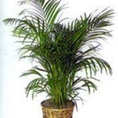 P-15  Fern Plant