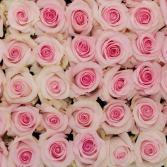 Pale Pink Nena Roses Available in Half Dozen, Dozen and Two Dozen