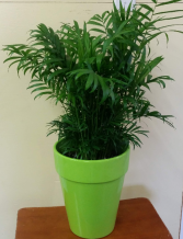 palm in bright green pot live plant