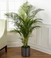 Palm Plant plant