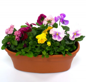 Pansy Perfect Blooming Annuals in Burns, OR | 4B Nursery And Floral