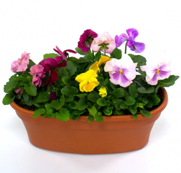 Pansy Perfect Blooming Annuals