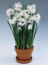 PAPER WHITE  PLANT