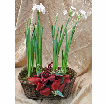 Paperwhites in Basket Plant & Basket