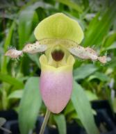 Paphiopedilum Orchid Plant Orchid Plant