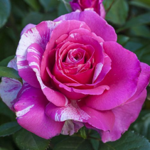 Parade Day Grandiflora Rose 5 gallon