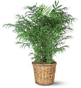 Parlor Palm Green Plant