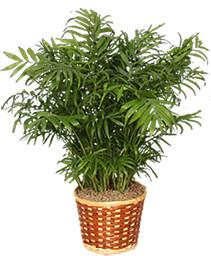 PARLOR PALM PLANT  Chamaedorea elegans