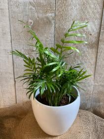 """Parlour Palm ** cat friendly ** 6"""" potted plant"""