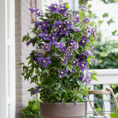 Passion Vine  outdoor planter