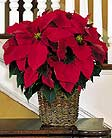 Passionate About Poinsettias Holiday Flowers