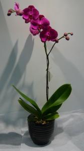 PASSIONATE PURPLE Orchid Plant