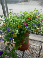 Patio Planter, blue, yellow, pink, white Blooming Plants