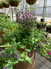 Patio Planter , lavender, blue, pink Blooming Plants
