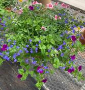 Patio Planter, Purple, Blue & Pink Blooming Plants