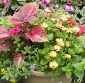 Patio Pot of Annuals Flowering Annuals Container