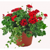 Patio Pot Outdoor Plant