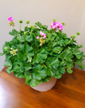 Patio Pot Plant