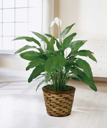 Peace Lily, 8'' Plant