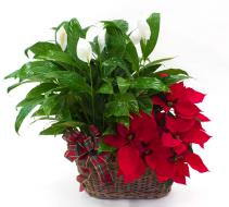 Peace and Poinsettia double basket Christmas Arrangement