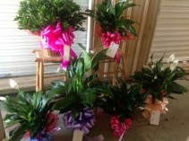 Peace Lilies & Plants
