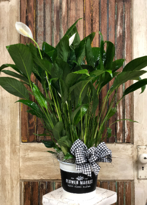 Peace Lilly   in New Braunfels, TX | Petals To Go