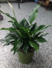 Peaceful Creation Peace lily plant