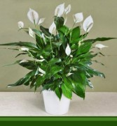 Peace Lilly Plant
