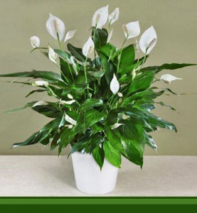 Peace Lilly Plant in Saanich, BC | PETALS N BUDS SAANICH FLORIST